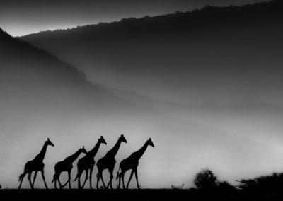 GIRAFFE WALK